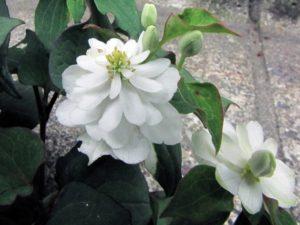 八重咲きのドクダミ
